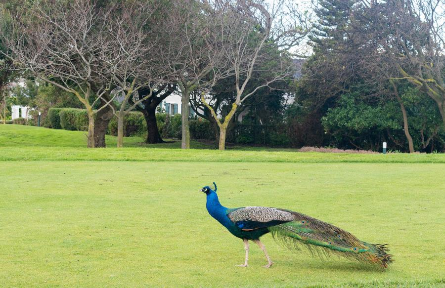 peacock in gardens at Steenberg